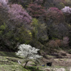 山桜に囲まれて