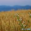 麦秋に咲くヒメジョオン