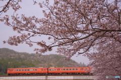 弥生 桜満開