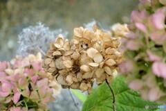10月の紫陽花