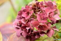 冬の紫陽花