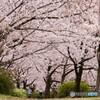 桜づつみ回廊2021年3月28日午前10時