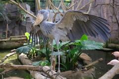 動かない鳥、ハシビロコウのまさかの大羽ばたき。