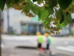 通学路の菩提樹