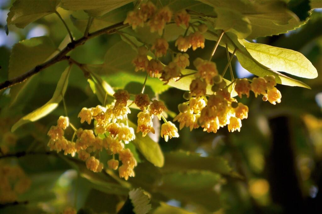 菩提樹の木陰