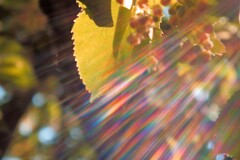 菩提樹に射す後光