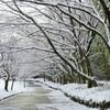 雪の花咲く桜並木