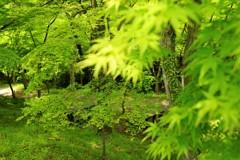もみじ谷の新緑