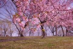 お花見は河津桜でスタート