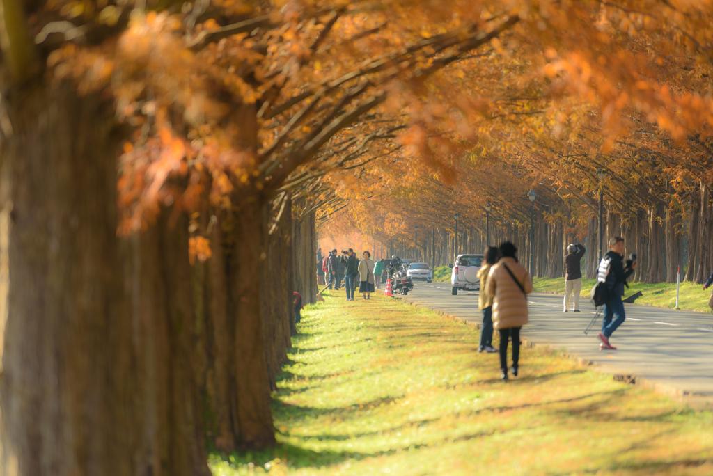錦秋のメタセコイア並木 #9