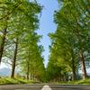 新緑のメタセコイア並木 #6