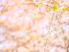 最後まで魅せる枝垂れ桜