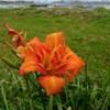 琵琶湖畔に咲くユリ