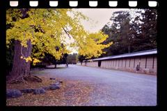 御所の秋、銀杏