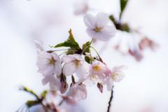 桜は難しい