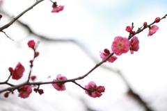 梅が咲いたょ