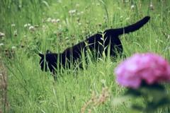 紫陽花と猫にゃん