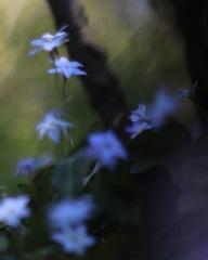 日蔭の小さなブルー