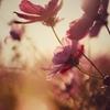 夕刻の花びらに魅せられ