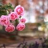 師走の薔薇 ❷