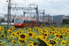 小田急線ロマンスカーと向日葵の花