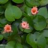 蓮子の花①