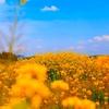 菜の花畑♫
