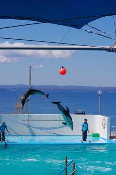 のとじま水族館 カマイルカのショー8 綺麗なタイミング