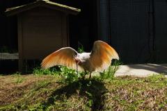 いしかわ動物園 トキ 確かに羽の色が特徴的