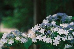 フィルムカメラで金沢ぶらぶら 紫陽花