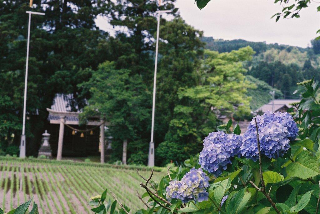 フィルムカメラで金沢ぶらぶら 紫陽花と鳥居