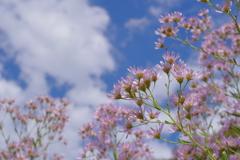 Kamakura散歩  海蔵寺 紫苑 花言葉は「君をわすれない」
