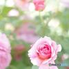近所とイングリッシュガーデン petri 50mm f1.7 美しい薔薇