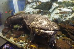 のとじま水族館 オオサンショウウオ