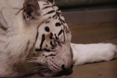 いしかわ動物園 ナイトズー やはり眠い