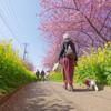 DA 11-18mm f2.8 試し撮り 河津桜と菜の花と散歩する女性