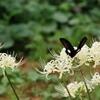 白い彼岸花と黒いモンキアゲハ1