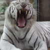 雨のいしかわ動物園 ホワイトタイガー 大あくび