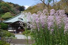 Kamakura散歩  海蔵寺 立派な紫苑