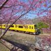 DA 11-18mm f2.8 試し撮り 河津桜と黄色電車