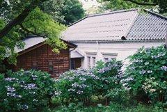 フィルムカメラで金沢ぶらぶら 金沢城跡 紫陽花たち