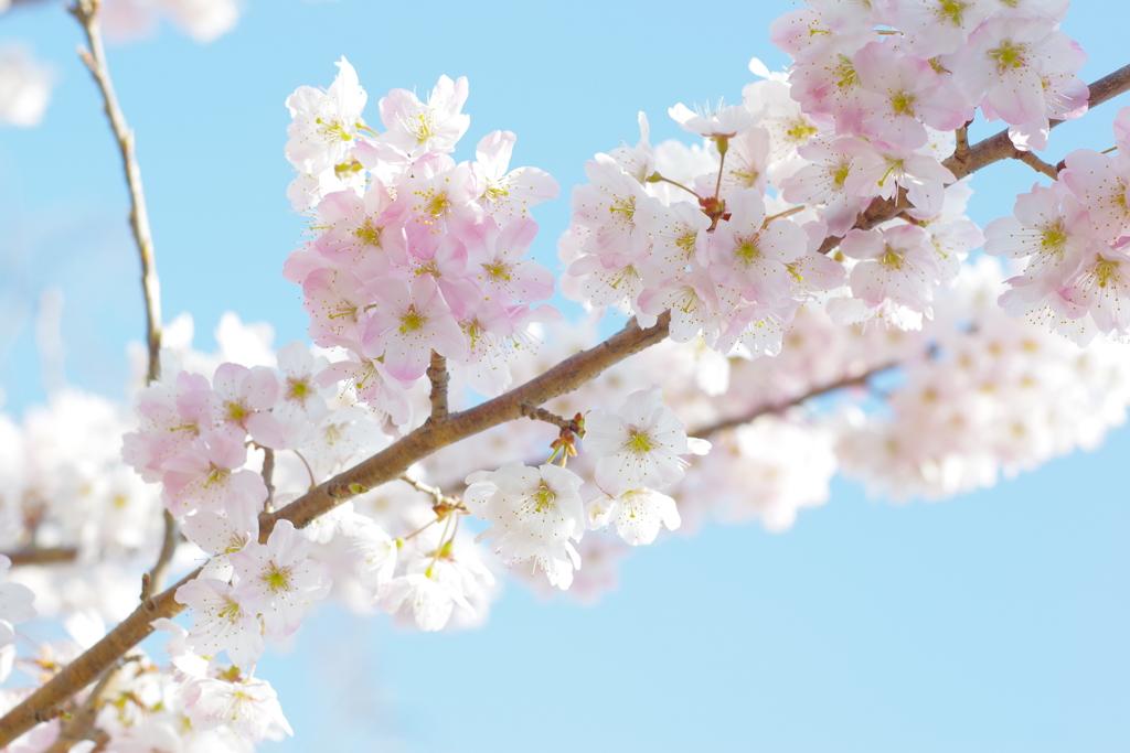 常泉寺 桜