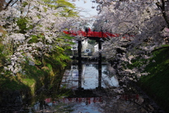弘前さくら祭り 赤い橋とさくら