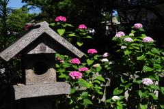 小倉 朝の散歩 紫陽花と灯篭