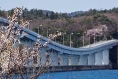 能登島への橋と桜