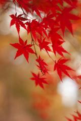 紅葉 オールドレンズ④ 逆光