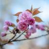 ぼたん桜 トリプル