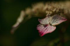 紫陽花 ⑲