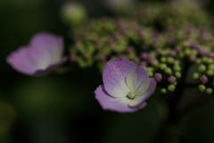 紫陽花 ⑯