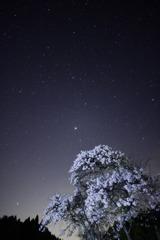 夜桜を見上げるとそこに